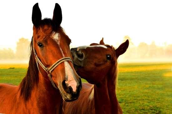 Картина по номерам 40x50 Пара лошадок на лугу
